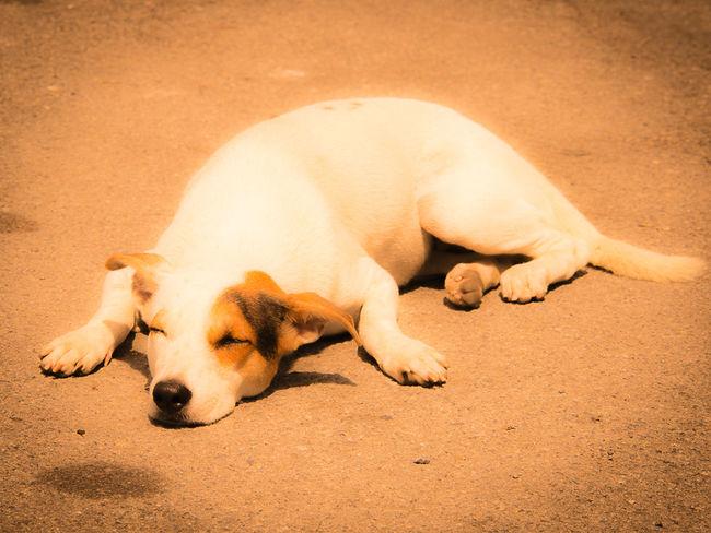 Summerdog Animal Hot Day