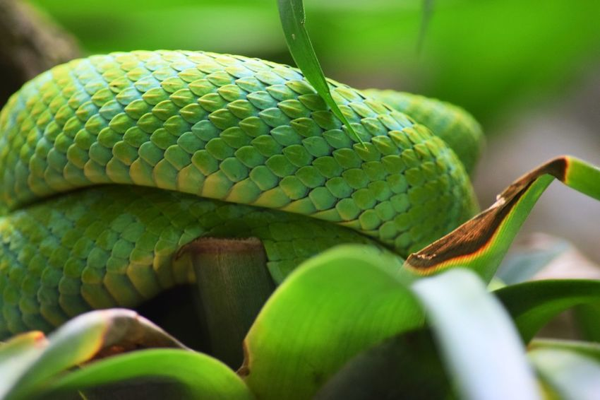 Animal Wildlife Animals In The Wild One Animal Green Color Animal Themes Nature Close-up Day Reptile Leaf No People Outdoors