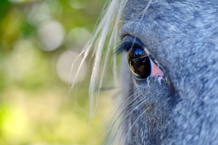 One Animal Animal Themes Domestic Animals Mammal Bokeh Animal Head  Close-up Focus On Foreground Outdoors Day No People Nature Animals In The Wild Portrait Horse Hair Eye Reflection Reflection In Eyes Portraits Beautiful EyeEm Best Shots Check This Out in Knysna , South Africa MISSIONS: The Great Outdoors - 2017 EyeEm Awards The Portraitist - 2017 EyeEm Awards Pet Portraits