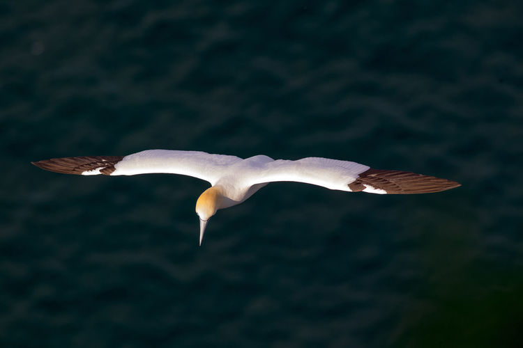 Gannets Flying Over Sea