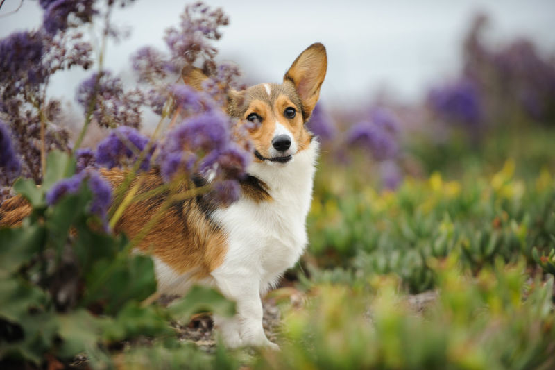 Portrait of papillon dog by flowers on field