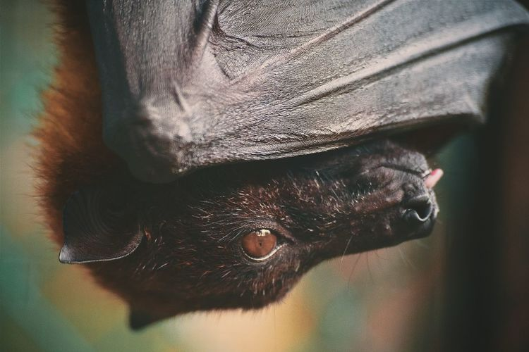 Headshot a Bat Animal Themes Bat Batman Bats Hanging Headshot Portrait Close-up Close-up Textured  No People Indoors  Full Frame Day Backgrounds