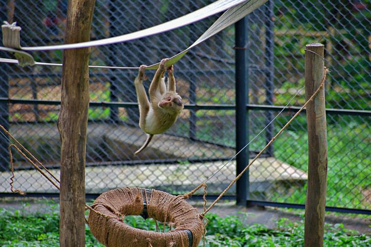 MONKEY PLAYING IN BANNERGHATTA NATIONAL PARK Animals In The Wild BannerghattaNationalPark Monkeys Zoo Animal Animal Themes Animal Wildlife Animals In Captivity Animals In The Wild Cage Chainlink Fence Day Domestic Animals Fence Focus On Foreground Mammal Metal No People One Animal Outdoors Pets Photography Rodent Trapped Travel Destinations Vertebrate Wildlife Zoo EyeEmNewHere A New Beginning