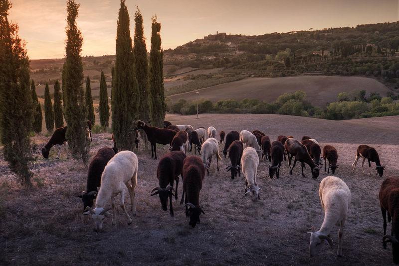 Goats on landscape against sky