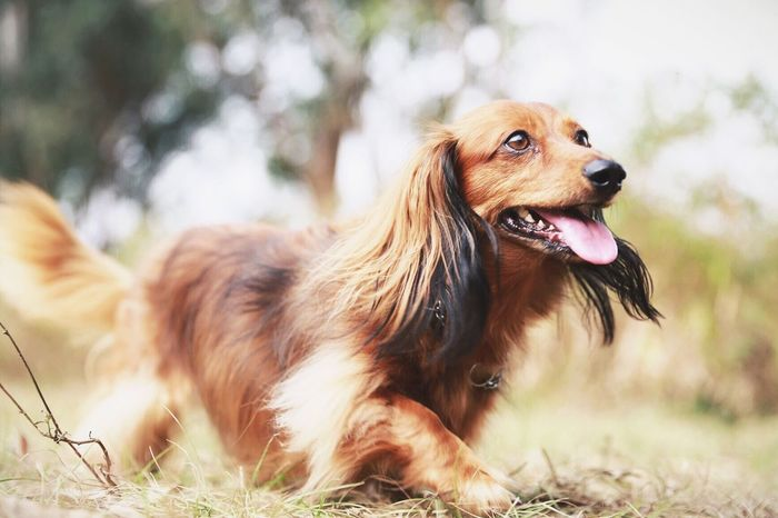 Dachshund Dog Doxie HongKong Pets Cute Nature I Love My Dog Pets Corner Bokeh The Essence Of Summer Focus Object