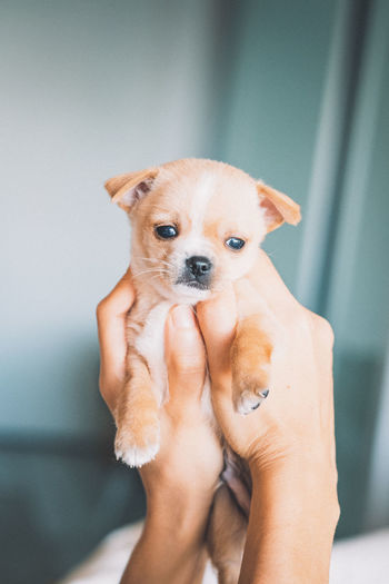 Portrait of hand holding chihuahua puppy