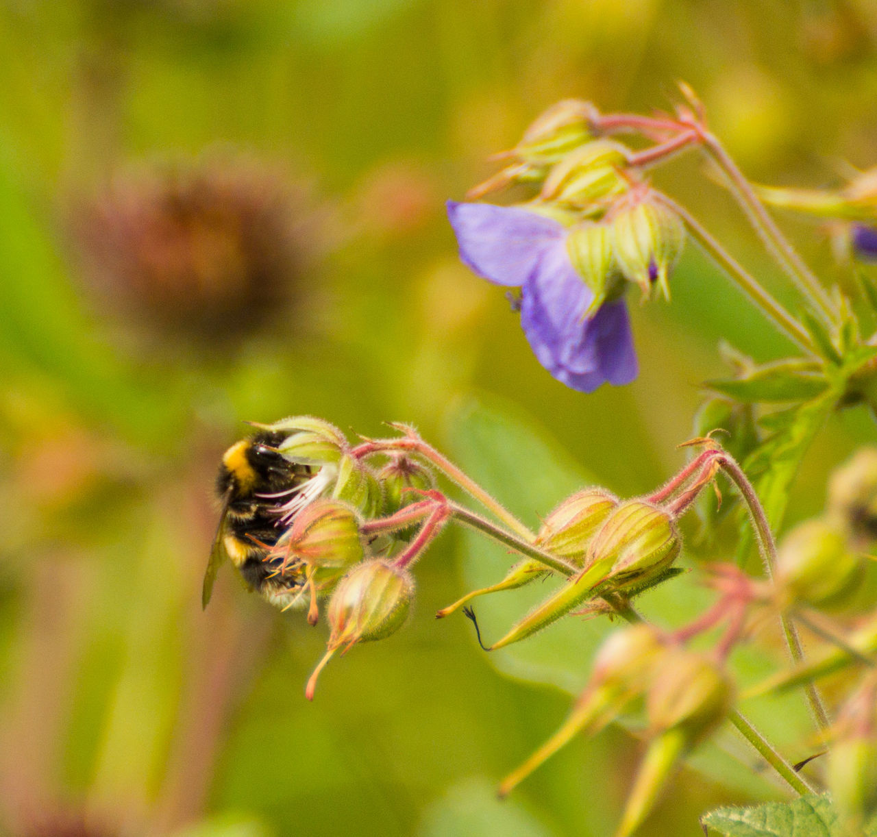 insect, animal themes, animals in the wild, flower, bee, nature, one animal, plant, growth, no people, focus on foreground, outdoors, fragility, day, animal wildlife, close-up, pollination, beauty in nature, buzzing, freshness, flower head