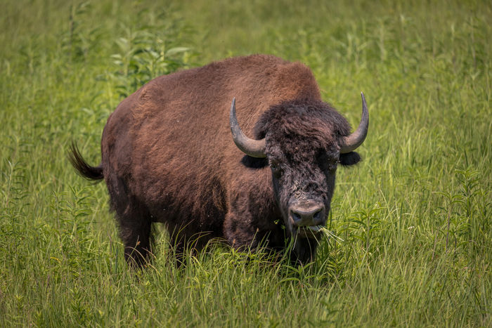 After a couple of centuries absence, Wild bison or American buffalo (Bison bison) can be seen to roam some small patches of the prairies in the Midwest once more. While once numbering 20 to 30 million across the endless American prairies, the number of bison remaining alive in North America declined to as low as 541 individual animals after the great slaughter during the 1800s. In 2015 Illinois saw its first wild bison calf in nearly 200 years after one was born to a reintroduced herd at Nachusa Grasslands. It is hard not to be impressed by the sheer size of these animals when you see them up close with males weighing up to 1 tonne. All the more impressive when you consider that they can run 35–40 mph (56–64 km/h) and jump close to 6 ft (1.8 m) vertically when agitated. Nachusa Grasslands, Illinois, USA. Love Life, Love Photography American Buffalo Illinois MidWest Prairies American Bison Animal Animal Themes Animal Wildlife Animals In The Wild Bison Bison Field Grass Green Color Herbivorous Horned Land Livestock Mammal Nature No People One Animal Outdoors Plain Plant Vertebrate