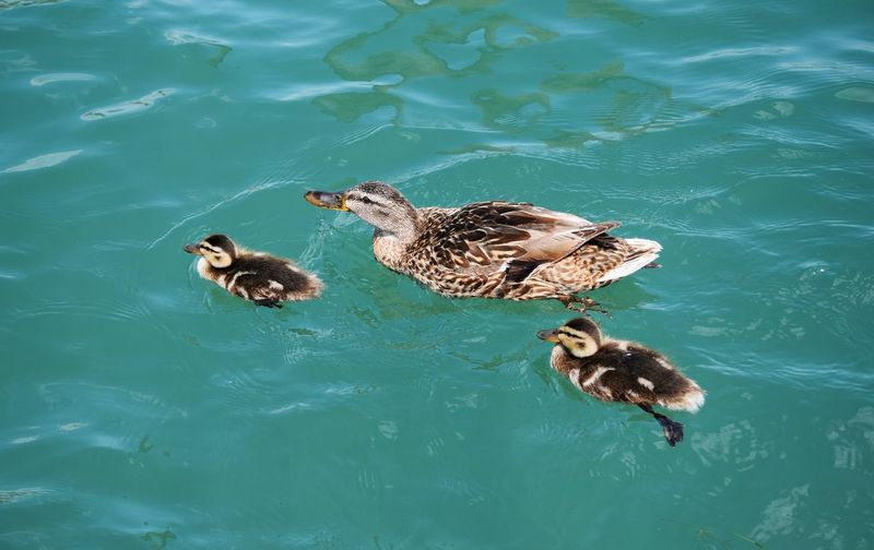 family duck swimming in the water Kid Spring Real View Animal Cute Lovely Family Beautiful View Nature Group Of Animals Animal Water Baby Water Swimming Reptile Lake Duck Duckling Young Bird Swimming Animal Baby Chicken Water Bird Muscovy Duck