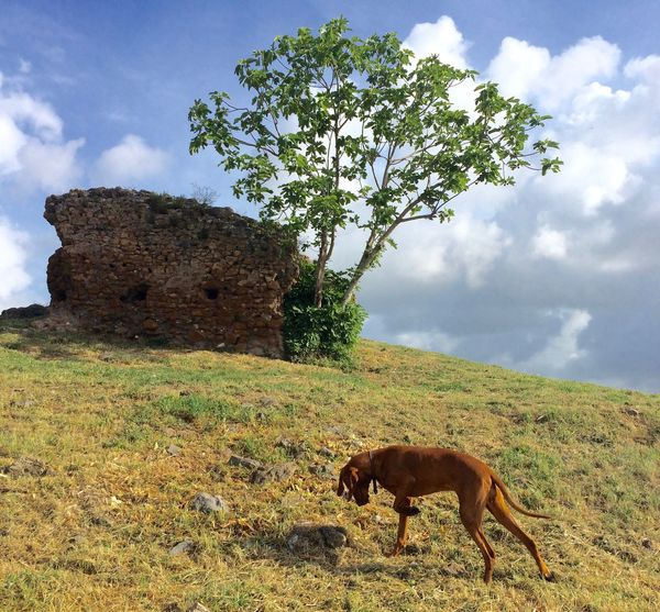 Ancient Architecture Ancient Ruins Beauty In Nature Cloud Dog Dogs Of EyeEm Dogslife Domestic Animals History Hungarian Vizsla Magyar Vizsla Nana's Life Nature Roman Ruins Ruin Ruins Sky Spring Spring Has Arrived Springtime Vizsla Vizsla Life Yeah Springtime! My Commute