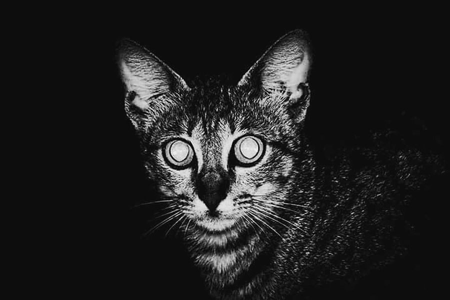 Animals Night Pets Cat Close-up Bwphotography Silvered