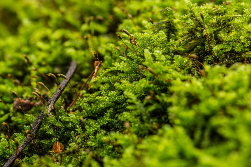 Nikon D7200 NRW Ruhrgebiet Ruhrpott Unscharf Forest Forest Photography Forestwalk Green Color Wald Waldspaziergang Greenery Macro Macro Photography Outdoors Outdoor Photography Selective Focus Beauty In Nature Moos
