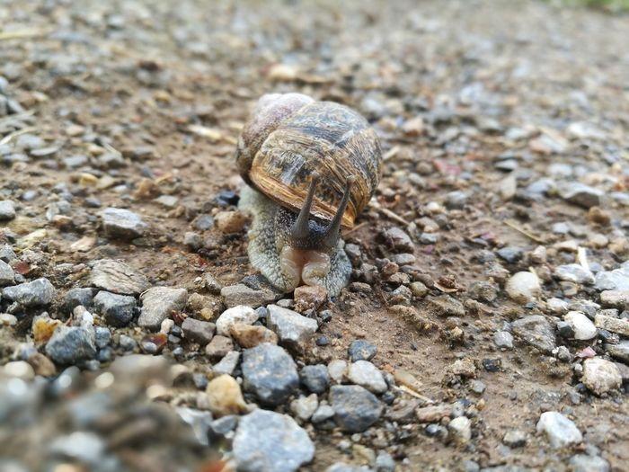 Exoskeleton Biology Nature Explore Stone Sand Close-up Wildlife Snail Crawling Slow Animal Antenna Slimy Antenna Ground Animal Shell