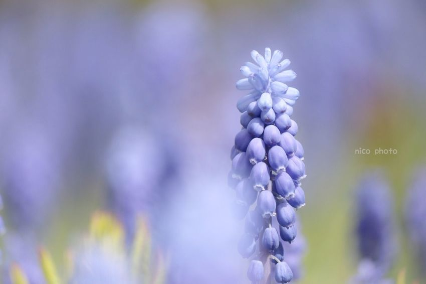 Bokeh Flower Porn Flowers, Nature And Beauty Flower Photography Flower Collection Bokeh Photography EyeEm Flower Flowers Of EyeEm EyeEm Selects EyeEmBestPics EyeEm Best Shots 前ボケ ふんわり ムスカリ Muscari Flower Flowering Plant Plant Beauty In Nature Growth Purple Freshness Close-up Nature Springtime Flower Head