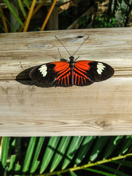 Portugal EyeEm ZOOM it to see details... Heliconius melpomene, the postman butterfly, common postman or simply postman, is a brightly colored butterfly found throughout Mexico and Central America. It was first described by Carl Linnaeus in his 1758 10th edition of Systema Naturae. Its coloration coevolved with a sister species H. erato as a warning to predators of its inedibility; this is an example of Müllerian mimicry. H. melpomene was one of the first butterfly species observed to forage for pollen, a behavior that is common in other groups but rare in butterflies. Because of the recent rapid evolutionary radiation of the genus Heliconius and overlapping of its habitat with other related species, H. melpomene has been the subject of extensive study on speciation and hybridization. These hybrids tend to have low fitness as they look different from the original species and no longer exhibit Müllerian mimicry. H. melpomene possesses ultraviolet vision which enhances its ability to distinguish subtile differences between markings on the wings of other butterflies. This allows the butterfly to avoid mating with other species that share the same geographic range... SANTA MARGARIDA ENVIRONMENTAL PARK AND TROPICAL BUTTERFLY HOUSE In a space of six hectares and in a scenery of great quality and beauty, the Environmental Park of Santa Margarida provides the visitor with direct contact with nature, enjoying moments of tranquility and having information and activities related to the environment. The park includes a garden of medicinal and aromatic plants, an outdoor amphitheater, water mirrors, a playground, a picnic area, an observation tower from which you can have an overview of the Park and one can appreciate an immense landscape, and a tropical butterfly house. The butterfly is installed in a modern building, with temperature and humidity controlled to resemble the tropical environment (23-30 ° C, 70% humidity). After a series of information about butterflies and their 