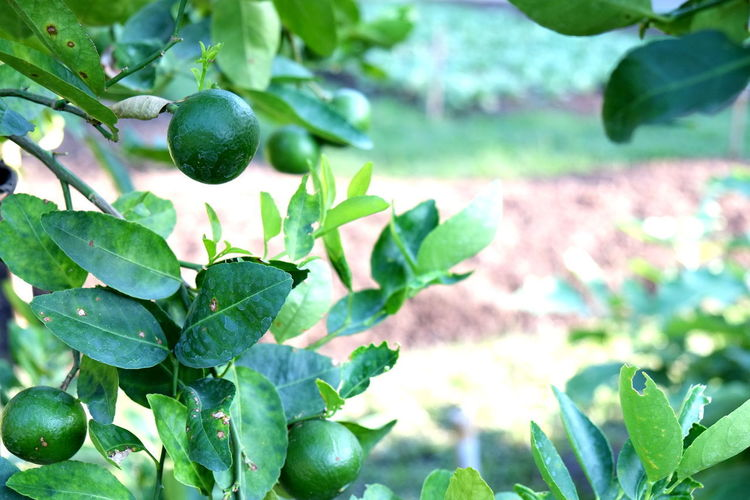 green lemon tree in garden Green Green Green!  Beauty In Nature Close-up Day Food Food And Drink Freshness Green Background Green Color Green Lemon Green Nature Growing Growth Healthy Eating Leaf Lemon Lemon Garden Lemon Tree Nature No People Outdoors Plant Tree