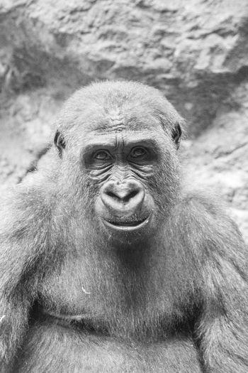 Primate Gorilla