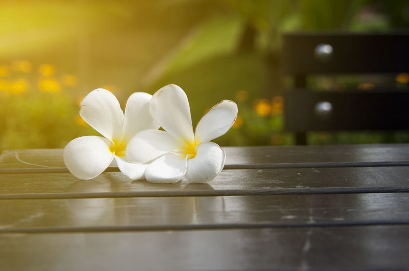 Close-up of white frangipani flowers on table in park