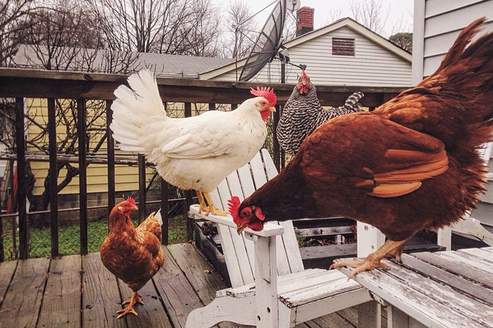 Telling Stories Differently Charlotte North Carolina Chickens Are Pets Chickens Backyard Birds