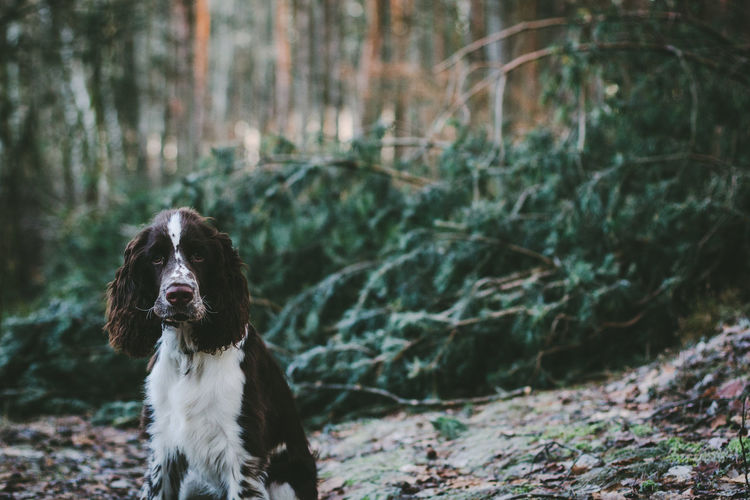 Close-up portrait of english springer spaniel in forest