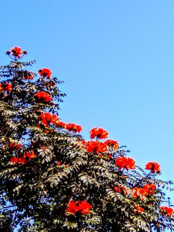 RED FLOWERS Growth Nature Low Angle View Beauty In Nature Flower No People Red Day Sky Freshness Clear Sky Fragility Tree