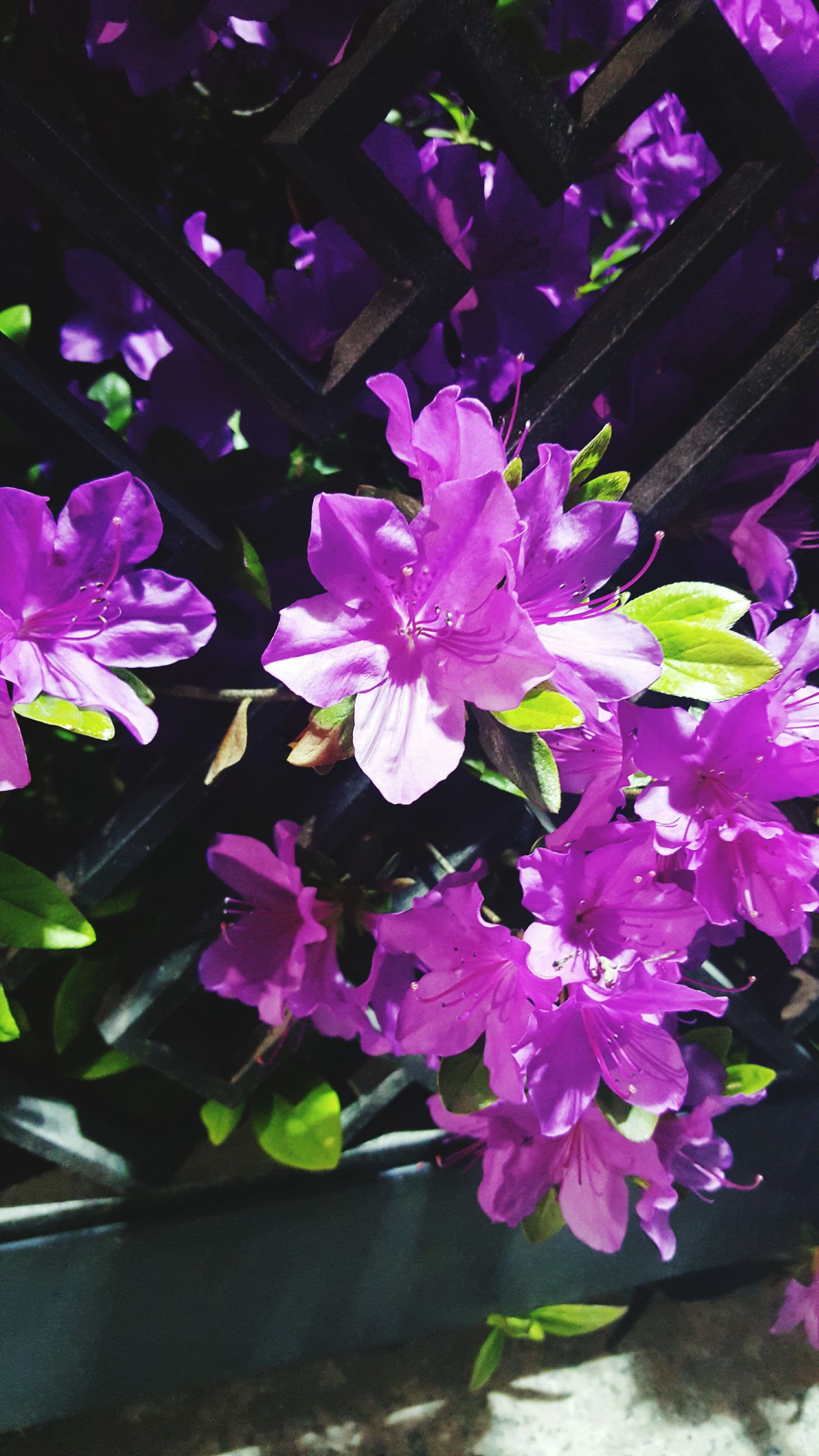 flower, freshness, petal, fragility, growth, purple, pink color, beauty in nature, flower head, plant, leaf, nature, blooming, close-up, in bloom, potted plant, high angle view, no people, outdoors, day