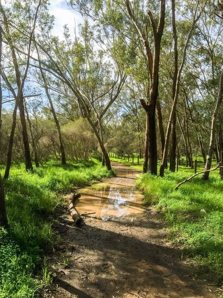 Wet Path Wet Water Puddle Forest Tree Trunks Green Walking Meditation Peaceful Landscape Australia Western Australia Swan Valley  Outdoors Sky Trees Woods Nature Hiking Walking Pathway Trail Path Connected With Nature Lush Nature_collection