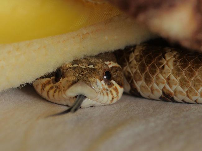 Heterodon nasicus Animal Themes EyeEm Taiwan Indoors  Pet Animal Reptile Snake Tainan Tainan, Taiwan