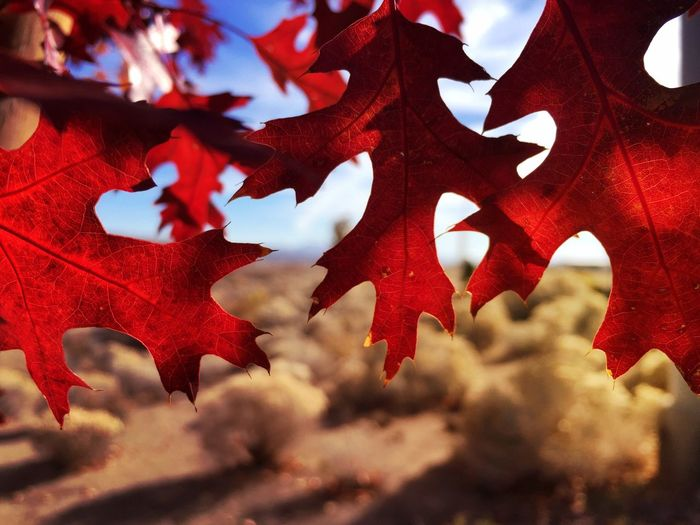 Close-up of red maple leaves during autumn