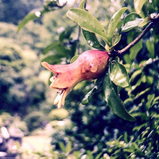 Pomegranate Nature Fruits Countryside Enjoying Life IPhoneography Japan ザクロ Relaxing 自然 里山 田舎暮らし