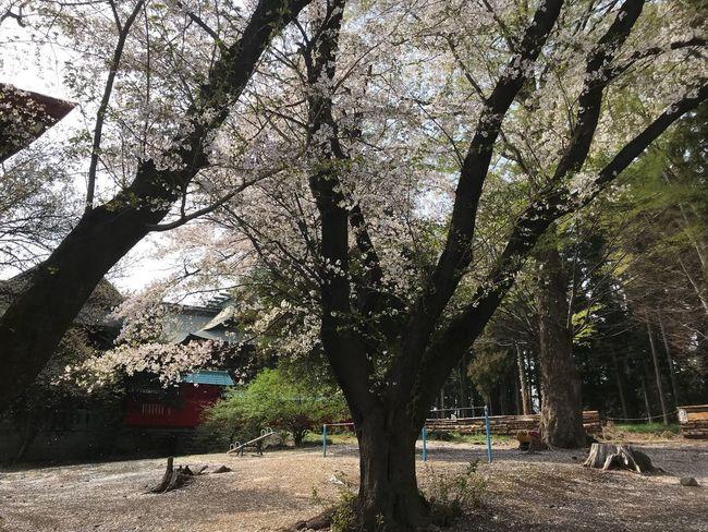 """Sakura"" Yahata Jinja"