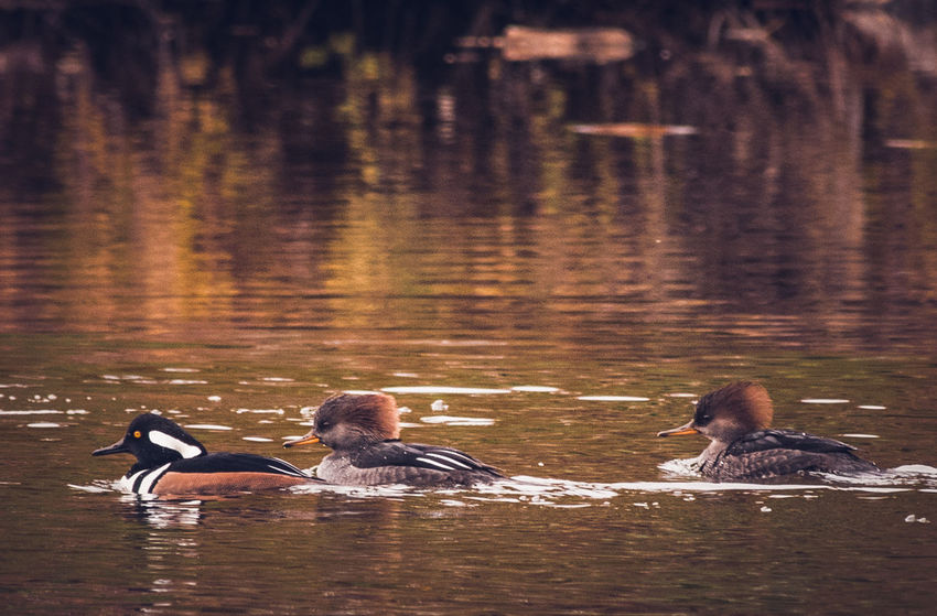 Hooded Merganser Animal Themes Animals In The Wild Animal Wildlife Lake Nature Autumn Colors Autumn🍁🍁🍁 Wildlife Wildlife & Nature Wildlife Photography Beautiful Nature Animal Photography Water Bird Nature Photography
