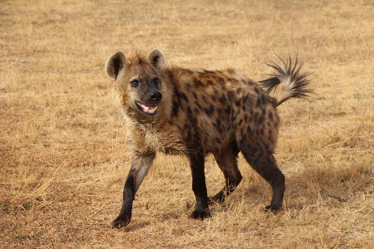 Hyena standing on grassy field
