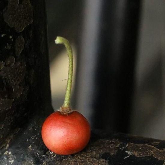 Jamaica berry. Buah kersen. Kersen Jamaicaberry Fruits Red redfruits