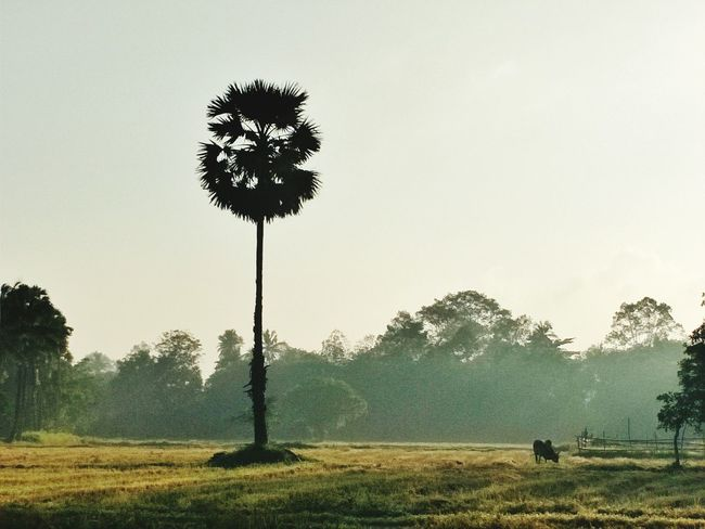 morning in rural arae in Asian Cow Plam Trees Rice Field Posthavest Tree Grass Field Outdoors Sky People Agriculture Nature