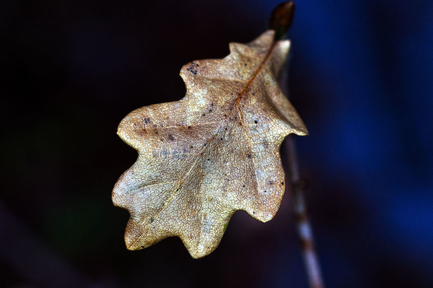 Autumn Beauty In Nature Dry Focus On Foreground Fragility Leaf Maple Nature