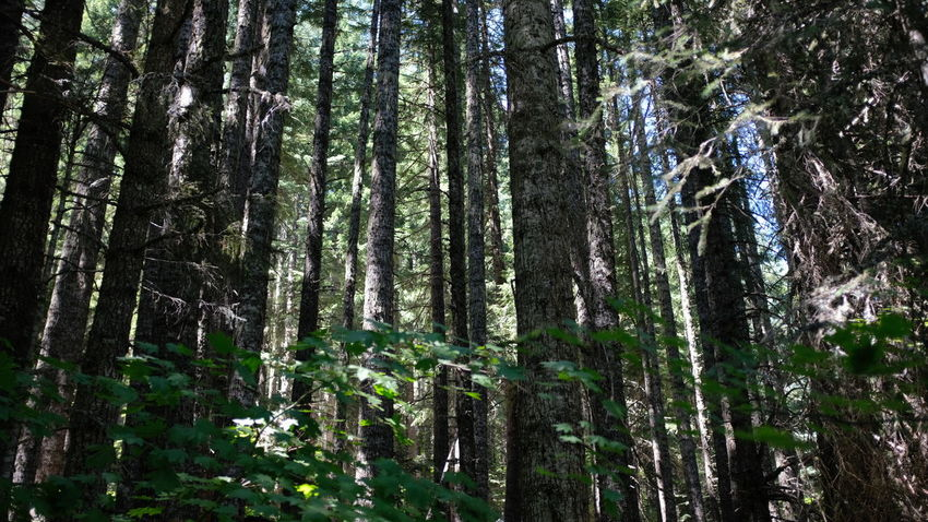 Mount Hood Bamboo - Plant Beauty In Nature Day Forest Green Color Growth Land Low Angle View Mount Hood National Forest Nature No People Non-urban Scene Outdoors Plant Rainforest Scenics - Nature Tranquil Scene Tranquility Tree Tree Trunk Trillium Lake Trunk WoodLand