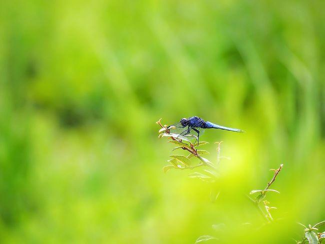 想い出は心にそっと… そっと… シオカラトンボ Dragonfly Dragonfly Nature Insects Dragonfly Photograohy トンボ EyeEm Nature Lover EyeEm Best Shots Eyemphotography 日だまり EyeEm Gallery Taking Photos Green Nature EyeEm Best Shots - Nature Insect Collection Beauty In Nature My Point Of View