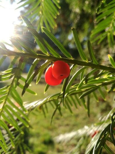 Eibenfrüchte im Herbst Close-up Close Up Closeup Bokeh Background Yew Yew Berry Yew Berries October Toxic Tree Red Leaf Branch Sunlight Close-up Plant Twig