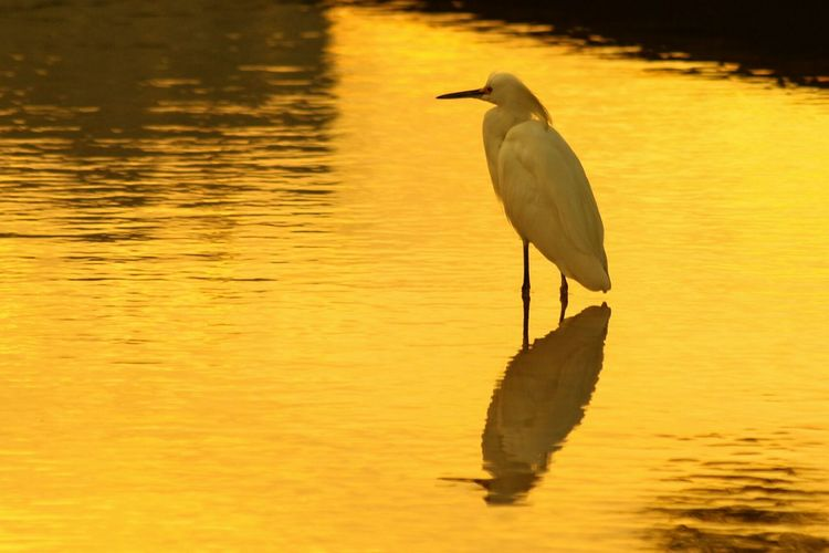Reflection Of Little Egret Over In Water During Dusk