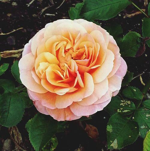 Flowerporn Ros 🌹 Nature