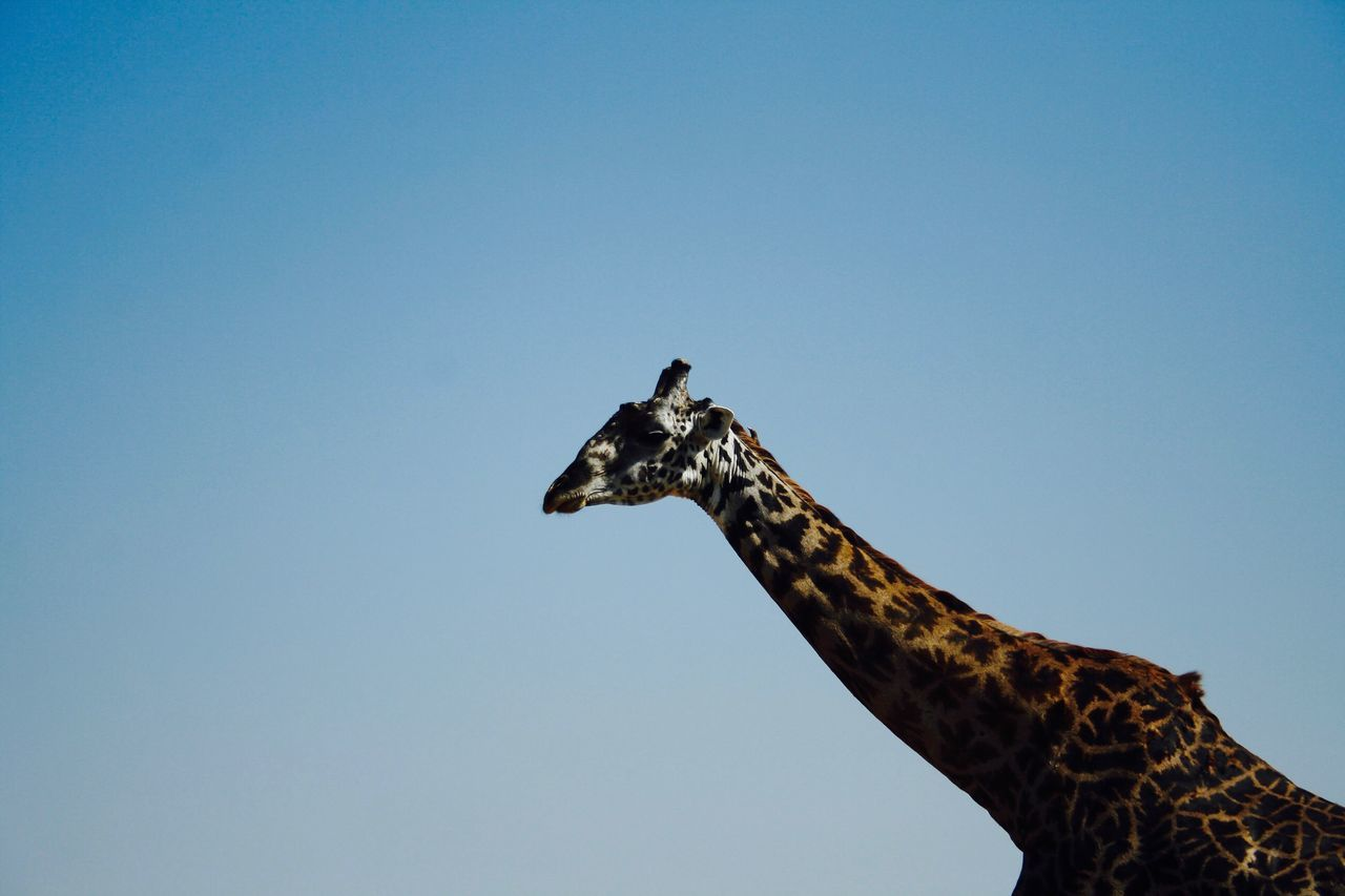 one animal, copy space, animals in the wild, animal themes, low angle view, giraffe, clear sky, animal wildlife, outdoors, day, mammal, no people, nature, safari animals, blue, sky