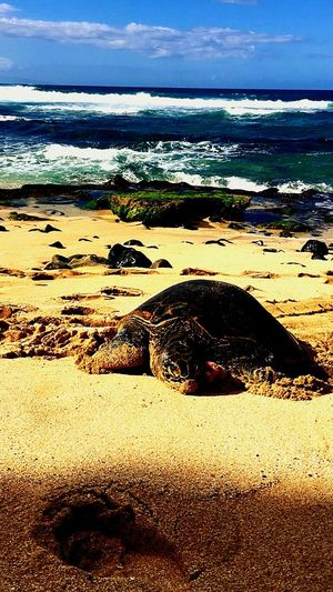 Seaturtle Seaturtles Oceanlife Wildlife Wildlife & Nature Waves Waves Crashing Shades Of Blue Showcase: December Hawaii Hawaiishots Beach Life Beachphotography Hello World Water_collection Enjoying Life Relaxing Allthingsbeautiful Photooftheday Enjoying The Sun Shades Of Green  Sandy Beach