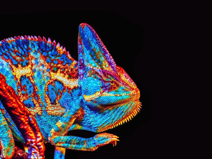 Black Background Multi Colored Chameleon EyeEm New Here EyeEm Selects Reptile Photography Reptile Reptiles Magic Colors Chameleon_collection Beatiful Nature Incredible Nature Pet Portraits Pet Photography  EyeEm Nature Lover Crazy Colors Mix Yourself A Good Time Wallpaper Colorsplash Colors Vibrant Color Vibrant Colour Vibrant Colors Cool Pet Color Palette