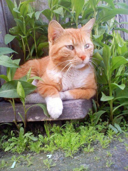 Pet Portraits Red Orange Cat Domestic Domestic Cat