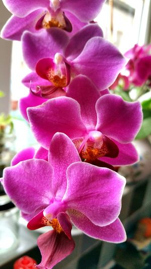 Fragility Petal Flower Close-up Flower Head Orchid Pink Color Plant In Bloom Botany Purple Softness Selective Focus Beauty In Nature Growth