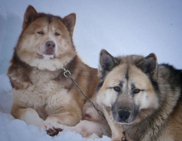 Regards. Dog Sledding Huskies NatureAnimal Photography DogsPet Photography  Dog Lover Dog Life Capturing Freedom Animals