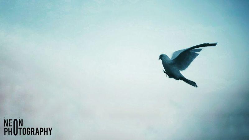 Peace Bird Flying Spread Wings Full Length Raven - Bird Bird Of Prey Animal Themes Sky Foggy Weather Mid-air First Eyeem Photo #FREIHEITBERLIN EyeEmNewHere