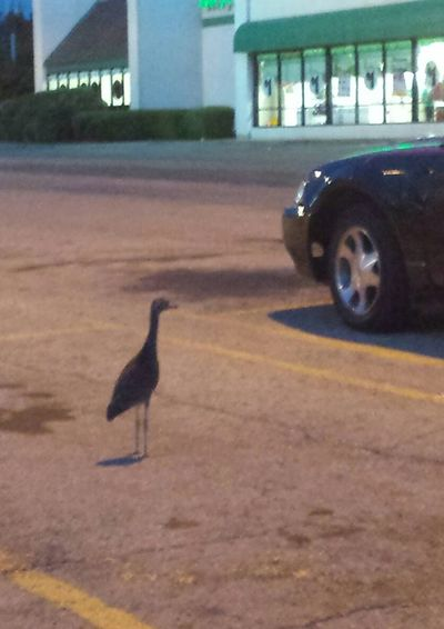 Not great photo quality but I still had to share. passed by this web footed friend as I left the $ Store. To show that I keepp my father's humor alive and kicking, I asked if he was out of quackers. 😝 The duck didn't find it funny either. One Animal Animals In The Wild Day Animal Themes No People Outdoors Bird Duck Photography Duckspotting Ducks ❤ Duck Out Of Water Random Animal Parkinglotpictures Random Sightings Parking Lot Photography Tulsa, Oklahoma