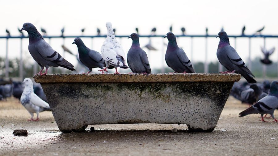 Stand Unique EyeEm Selects Bird Animals In The Wild Flock Of Birds Animal Wildlife Animal Large Group Of Animals Animal Themes Outdoors No People Perching Day Nature Sky Sonyalpha Sony Alpha Photography Nwin Photography Sony Alpha 6000 Flock Of Birds EyeEm Birds Birds Of EyeEm  Pigeons White Pigeon Grey Pigeons Pigeons Everywhere